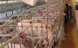 Phát hiện việc sử dụng chất cấm mới Systeamine trong chăn nuôi