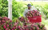 Australia đề xuất cấp giấy phép nhập khẩu quả thanh long từ Việt Nam