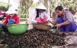 Nông dân có thêm thu nhập từ bắt ốc bươu vàng