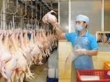 Giá thịt gà và lợn hơi giảm nhẹ duy trì ở mức có lợi cho người nuôi