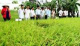 Bến Lức với mô hình canh tác lúa hiệu quả, bền vững, giảm phát thải khí nhà kính