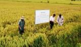 Thủ Thừa: Hiệu quả từ mô hình 3 giảm, 3 tăng và kỹ thuật trồng lúa SRI