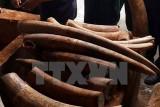 Xem xét khởi tố vụ vận chuyển trái phép ngà voi tại Cảng Sài Gòn