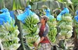 Đưa chuối Việt ra thị trường thế giới