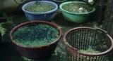 Phát hiện cơ sở ngâm rau muống với hóa chất để tạo màu xanh