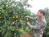 Khai mạc Lễ hội cam Cao Phong lần thứ hai tại tỉnh Hòa Bình