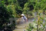 Triều cường xô vỡ đê bao sông Sài Gòn, nhấn chìm 50.000 gốc mai