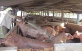 Giá giảm - Người chăn nuôi ngại tái đàn