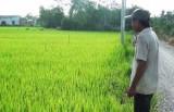 Cần Giuộc: Gần 500 hecta lúa Đông Xuân bị nhiễm bệnh