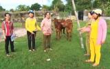 Đức Hòa chuyển giao bò giống Dự án Heifer