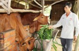 Hiệu quả mô hình chăn nuôi bò