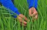 Tân Hưng: Sâu năn gây hại trên trà lúa Đông Xuân
