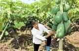 Tín dụng phát triển nông nghiệp: Cho vay nửa vời dự án chết yểu