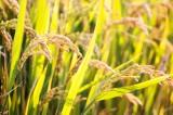 Anh hỗ trợ Việt Nam và một số nước châu Á nghiên cứu lúa gạo