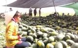 Vĩnh Hưng thu hoạch dưa hấu tết