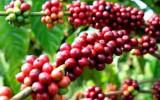 Xuất khẩu cà phê và gạo giảm mạnh tháng đầu năm