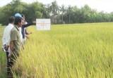 Cần Giuộc: Ứng dụng mô hình canh tác lúa hiệu quả, bền vững, giảm phát thải