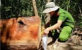 Bảo vệ BQL rừng phòng hộ ở Gia Lai bịa chuyện bị cướp gỗ