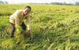 Tân Hưng: Mưa trái mùa làm hàng trăm ha lúa đổ ngã