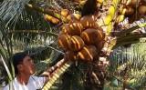 Nhà vườn ĐBSCL thu hàng trăm triệu đồng nhờ dừa Xiêm sốt giá