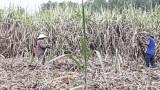 Bến Lức: Nông dân trồng mía thu lợi nhuận 15-30 triệu đồng/ha