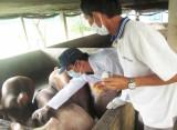 Giá thấp - Người chăn nuôi ngại tăng đàn