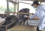 Không chủ quan với dịch bệnh gia súc, gia cầm