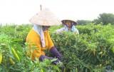 Đức Hòa: Rau màu rớt giá, người trồng lỗ nặng