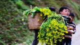 Hà Giang: Mùa hoa cải mèo nở rộ