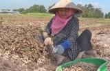 Đức Hòa: Thu hoạch gần 768ha đậu phộng Đông Xuân