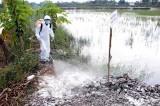 Cần Thơ: Xảy ra ổ dịch cúm gia cầm H5N1
