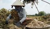 Đức Hòa: Đậu phộng trúng giá, nông dân phấn khởi