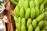 Ngừa ung thư, giảm cân nhờ chuối xanh
