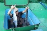 Ngư dân Hà Tĩnh trúng lớn mẻ cá lớn, thu về hàng trăm triệu đồng