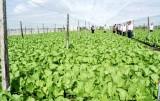 Giảm chi phí khi trồng rau công nghệ cao