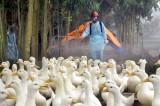 Cả nước còn 6 ổ dịch cúm gia cầm H5N1 và H5N6 tại 4 tỉnh
