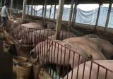 """Giá lợn hơi chạm đáy, Bộ Nông nghiệp """"cầu cứu"""" Thủ tướng"""