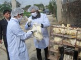 Xuất hiện ổ dịch cúm gia cầm H5N1 mới tại tỉnh Quảng Ninh
