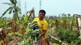 Chặt hạ hơn 2.000 cây chuối vì trồng trên đất của doanh nghiệp?