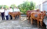 Cần Đước: Hỗ trợ bò cho người nghèo