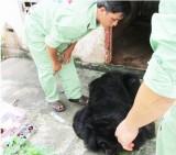 Chuyển giao 3 cá thể gấu ngựa cho Khu du lịch Công viên nước Củ Chi