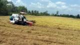 Nông dân mừng vì lúa Hè Thu sớm trúng mùa, được giá