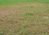 Nông dân Bạc Liêu lao đao vì lúa chết