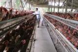 Hợp tác xã chăn nuôi gà Tân Mỹ liên kết sản xuất