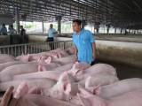 """Đừng nên chờ thị trường Trung Quốc """"cứu"""" thịt heo"""