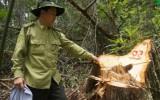 Khởi tố 20 bị can, chuyển cơ quan quân đội thụ lý vụ phá rừng pơ mu