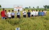 Triển khai chậm vùng sản xuất lúa ứng dụng công nghệ cao