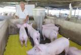 Giá heo hơi tăng, người chăn nuôi phấn khởi