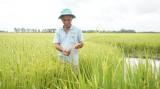 Những tín hiệu khả quan trong xây dựng vùng lúa ứng dụng công nghệ cao