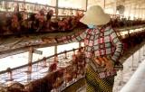 Tổ Hợp tác nuôi gà đẻ công nghiệp Ao Gòn: Vẫn đứng vững trên thị trường